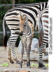 young zebra - The unique stripes of zebras make these among...