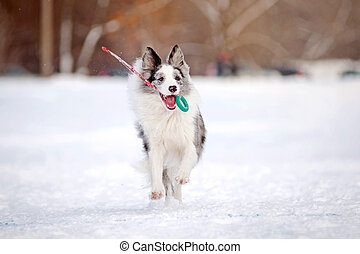 Border collie dog running with toy in winter
