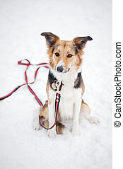 dog on a leash - border collie