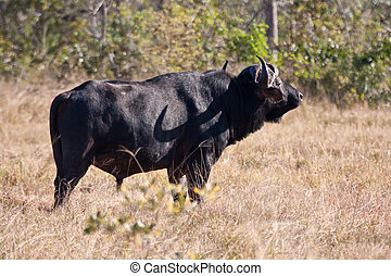 Cape buffalo standing looking for danger in nature