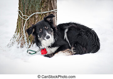 dog border collie the leash