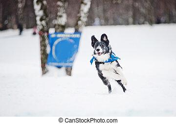 Black Border collie dog running in winter