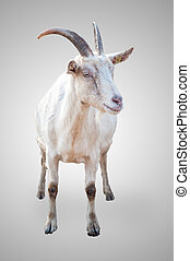 goat on gray background - isolated goat on gray background
