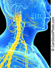 Spinal cord and upper nerves - 3d rendered illustration -...