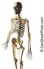 Male nerve system