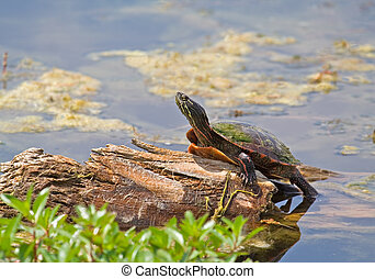Painted Turtle - Painted turtle sunnying itself on a log