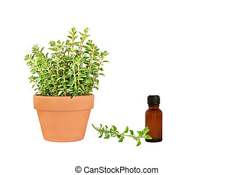 Herb Oregano - Herb oregano growing in a terracotta pot with...