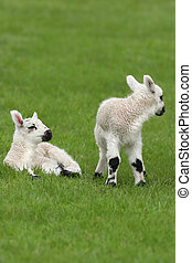 Spring Lambs - Two new born white and black lambs in a field...