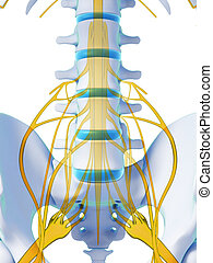 Spinal cord - 3d rendered illustration - spinal cord