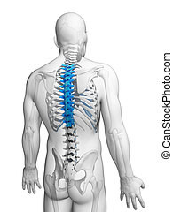 Human thoracic spine - 3d rendered illustration - thoracic...