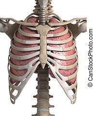 human, pulmão, tórax