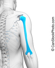 Highlighted humerus - 3d rendered illustration - humerus