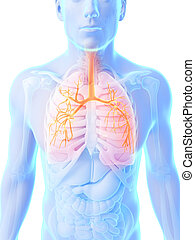 Highlighted male lung - 3d rendered illustration - male lung