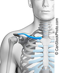 Clavicle - 3d rendered illustration - clavicle