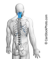 Cervical spine - 3d rendered illustration - cervical spine