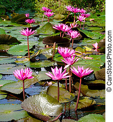 Group of pink lotus. (water lily)