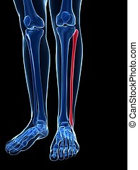Male fibula bone - 3d rendered illustration - the fibula...