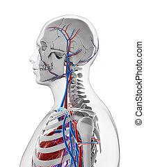 Male vascular system - 3d rendered illustration - vascular...