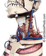 humano, cuello, anatomía