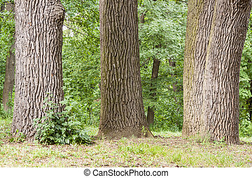 Sofiyivsky park in Uman - Ukraine, Europe. - Old trees in...