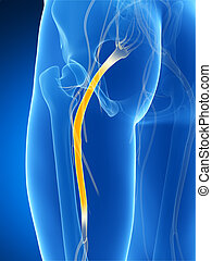 Highlighted sciatic nerve - 3d rendered illustration of the...