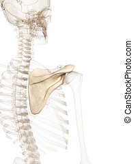 Human shoulder blade - 3d rendered illustration of the...