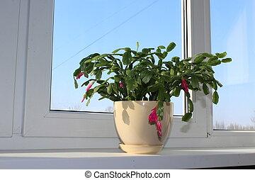 Fine pink flower of Schlumbergera in a flowerpot