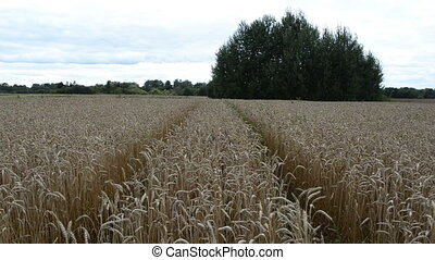 wheel mark wheat ear move - tractor wheel marks between...