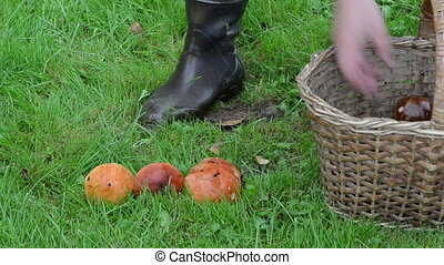 orange-cap wicker basket - man hand take orange-cap boletus...