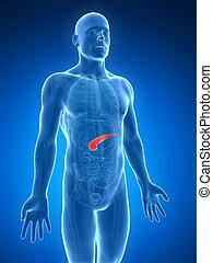 destacado, humano, páncreas