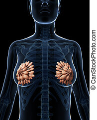 Mammary glands - 3d rendered illustration of the mammary...
