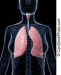 Female lung - 3d rendered illustration of the female lung