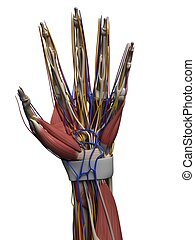 Human hand - 3d rendered illustration of the human hand