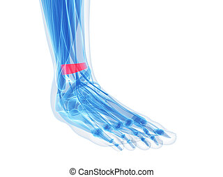 Superior extensor retinaculum - foot anatomy - superior...