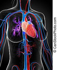 Female vascular system - 3d rendered illustration of the...