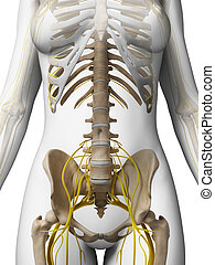 Female nervous system - 3d rendered illustration of the...