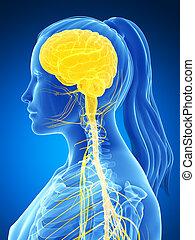 Nerveux, système, femme