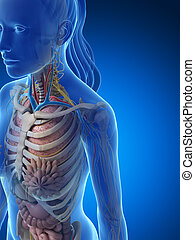 Female anatomy - 3d rendered illustration of the female...