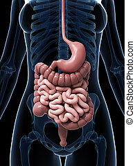 Female digestive system - 3d rendered illustration of the...