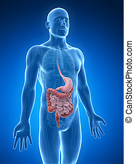 Digestive system - 3d rendered illustration of the digestive...