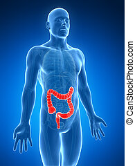 Human large intestine - 3d rendered illustration of the...