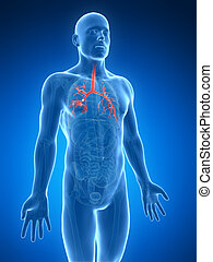 Human bronchi - 3d rendered illustration of the human...