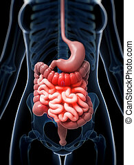 Highlighted digestive system - 3d rendered illustration of a...