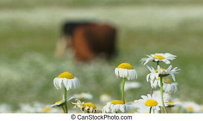 Cows in a field of daisies