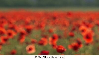Red poppies. Close-up