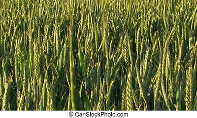 Farm field in spring - Green agricultural field of wheat