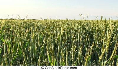 Farm field of wheat in spring