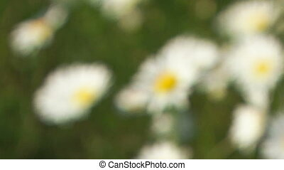 Blooming chamomile. Close-up
