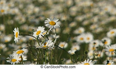 Blooming daisies in the wind. Close-up