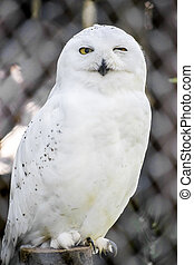 Snowy Owl In Captivity In A Local Zoo. The Snowy Owl (Bubo...